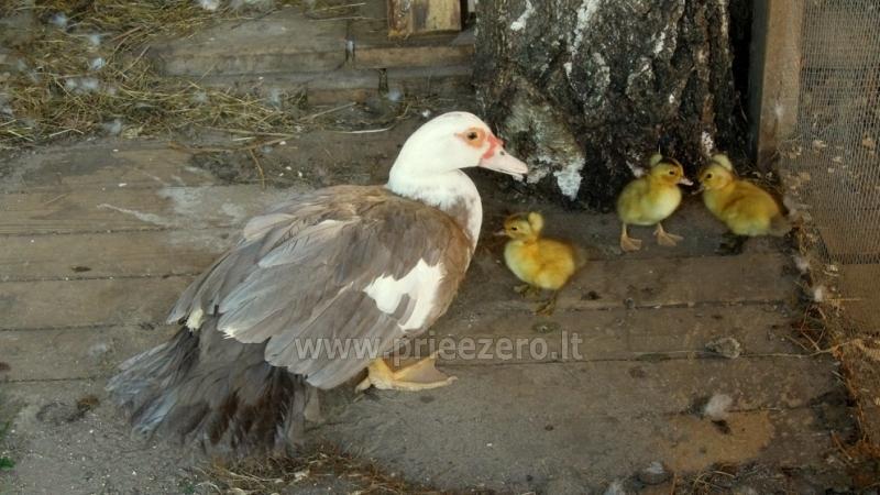 Sodyba Molėtų rajone prie Stirnės upės Stirnelės viensėdis - 36