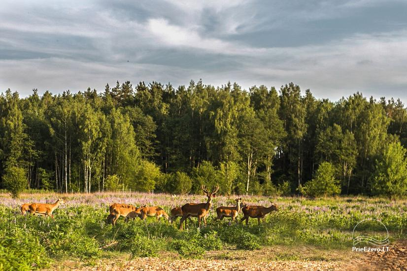 Elnių ūkis ir palapinių stovyklavietė Deer SPA prie Kernavės - 1