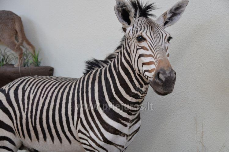Mini zoosodas, safaris, elnynas, iškamšų muziejus Karklėje viešbutyje Gamtos perlas *** - 7