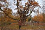 Stelmužės ąžuolas – seniausias ir storiausias Lietuvoje augantis paprastasis ąžuolas - 3
