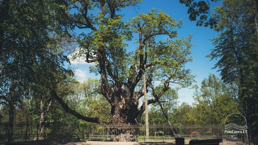 Stelmužės ąžuolas – seniausias ir storiausias Lietuvoje augantis paprastasis ąžuolas - 1