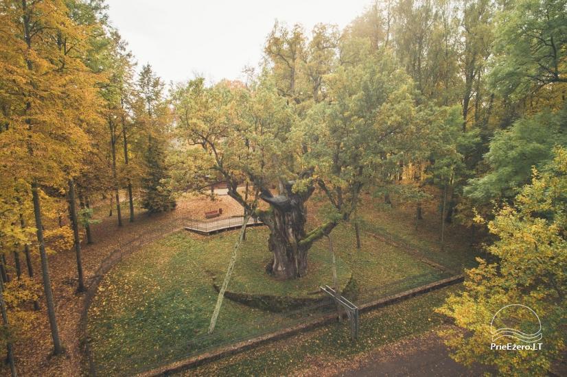Stelmužės ąžuolas – seniausias ir storiausias Lietuvoje augantis paprastasis ąžuolas - 2