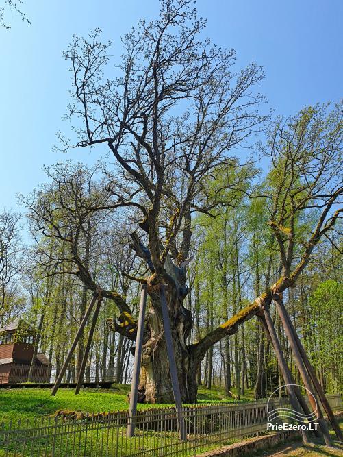 Stelmužės ąžuolas – seniausias ir storiausias Lietuvoje augantis paprastasis ąžuolas - 4