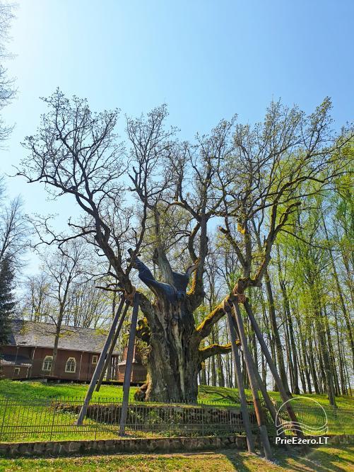 Stelmužės ąžuolas – seniausias ir storiausias Lietuvoje augantis paprastasis ąžuolas - 5